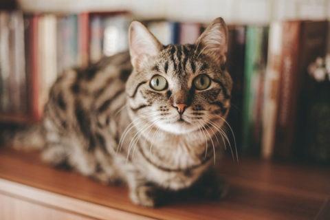 Tabby Cat sitting on bookshelf