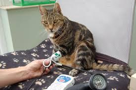 Older cat having blood pressure taken