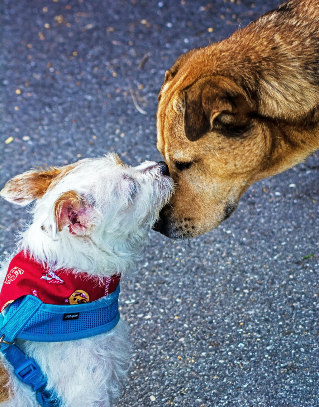 White dog with a red bandana kissing a bigger yellow dog
