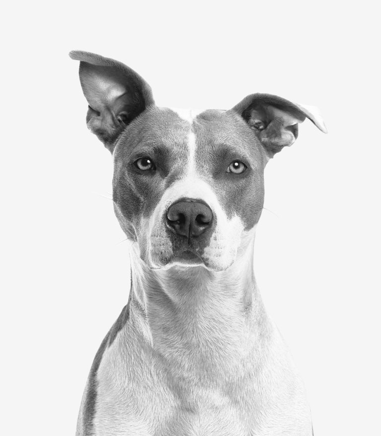 Black and white close up of a dog with crooked ears