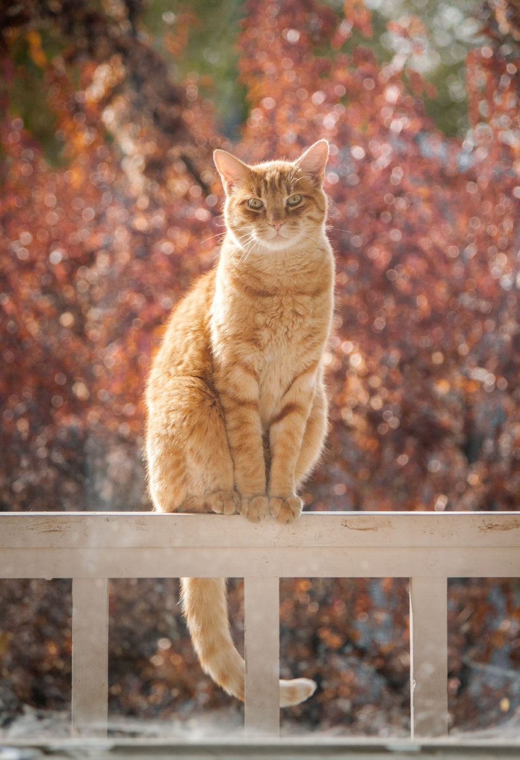 Beautiful ginger cat sitting on a fence