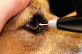 Dog being tested for glaucoma using tonometry