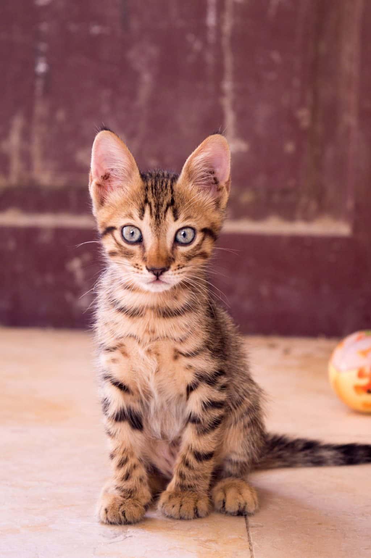 Alert looking tabby kitten in a rustic looking room.