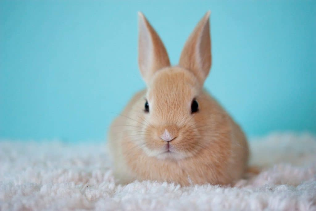 Fawn coloured young rabbit sitting on carpet with a blue background.