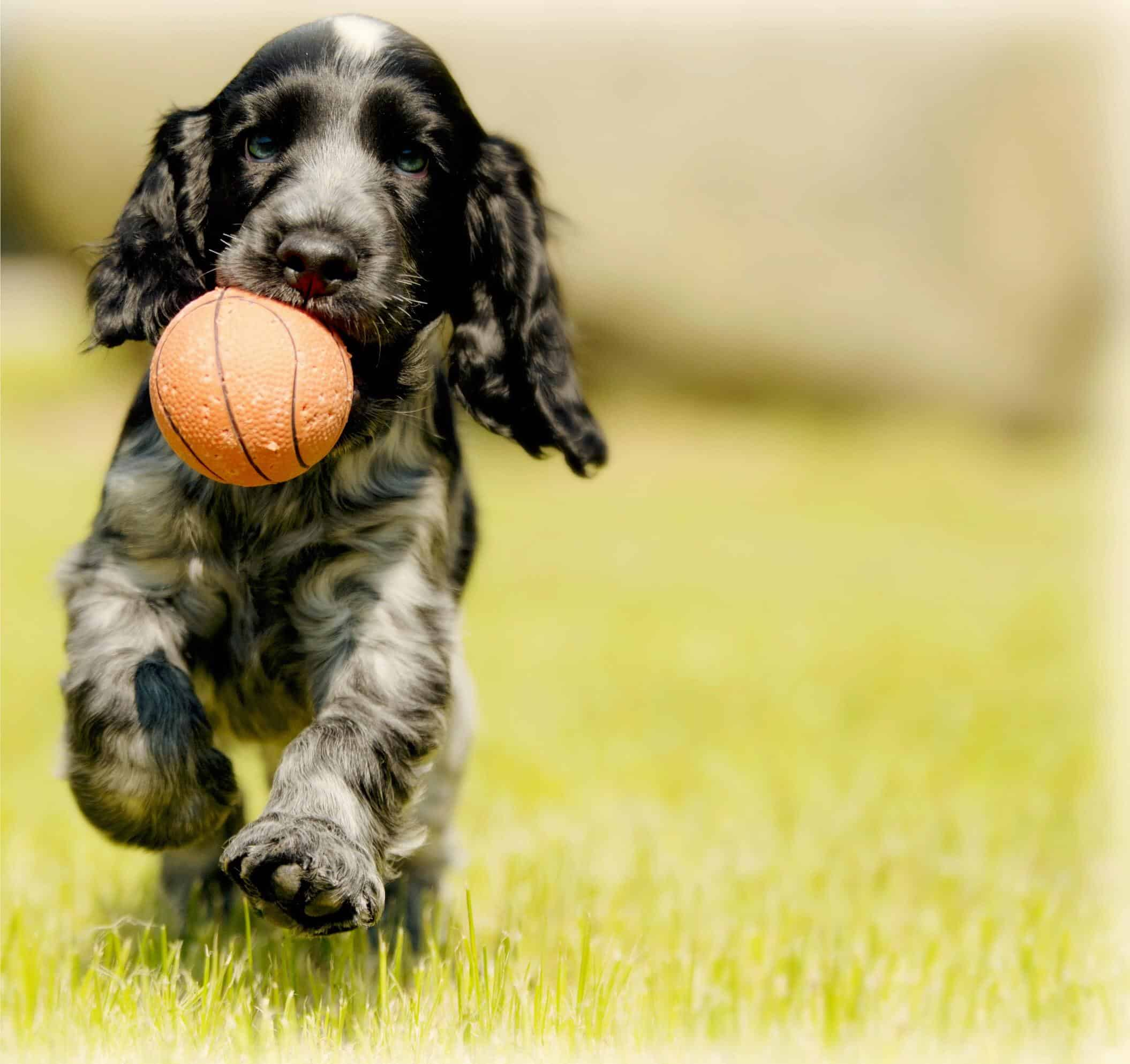 Spaniel Puppy running across grass holding an orange ball in mouth.