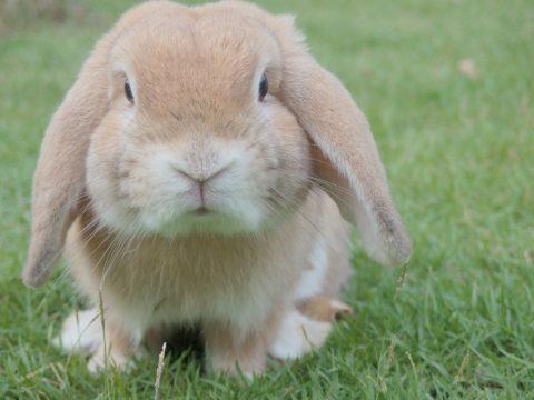 Floppy_Eared_Rabbit